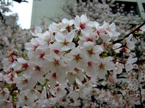 他の写真1: 【参考商品】 名入れ背守りTee 桜